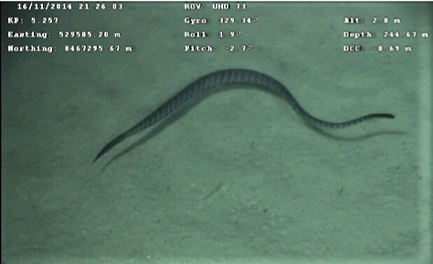 An unidentified species of sea snake swimming at 245 m below the surface of the ocean in Australia's North West Shelf. Image from video footage taken industry-operated ROVs.  Image credit: Inpex