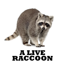 LIVE-RACCOON.jpg