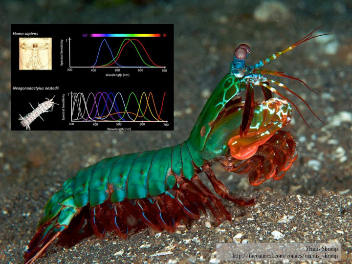 Fig.3b -  Mantis Shrimp.