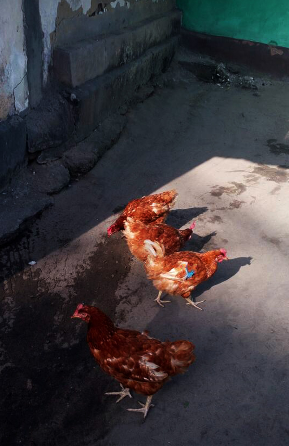 Hühner für Bonthe. Unterstützt von den Hornbacher Betrieben. - Seit April 2016 hat unser Ausbilder für Agrarwirtschaft, Mr. Augustine Ashun, interessierte Familien auf die Haltung und Zucht von Hühnern vorbereitet. Die Ausbildungswerkstatt Tischlerei hat gemeinsam mit den Menschen in Bonthe Hühnerställe gebaut. Seit September erhielten mehr als dreißig Familien Hühner.Mr. Ashun wird mit seinen Auszubildenden auf dem Gelände des Bonthe Youth Resource Centers Mais zur Fütterung der Hühner anbauen. Gemischt mit Muschelschalen zur Kalziumversorgung und Fisch kann auf diese Weise hochwertiges Hühnerfutter produziert werden. In diesem Fall ist die Insellage von Bonthe endlich einmal ein Vorteil. Der Bevölkerung soll veranschaulicht werden, dass die Nutzung vorhandener Resourcen den oftmals recht kostspieligen Kauf von Futtermitteln ersetzen kann.