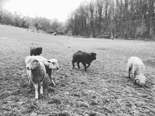 The ram pasture (including some of our favorite wethers)
