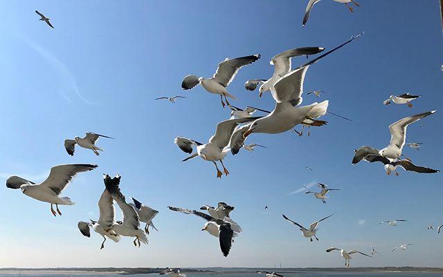 Op de boot van Texel naar Den Helder #texel #teso #waddenzee #denhelder #ferry #meeuwen #meeuw