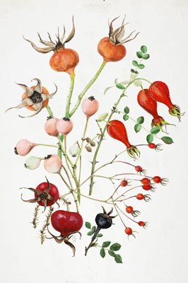 Rose hips including those of 'Penelope,' a coral-pink. Illustration by  Graham Stuart Thomas via RHS .