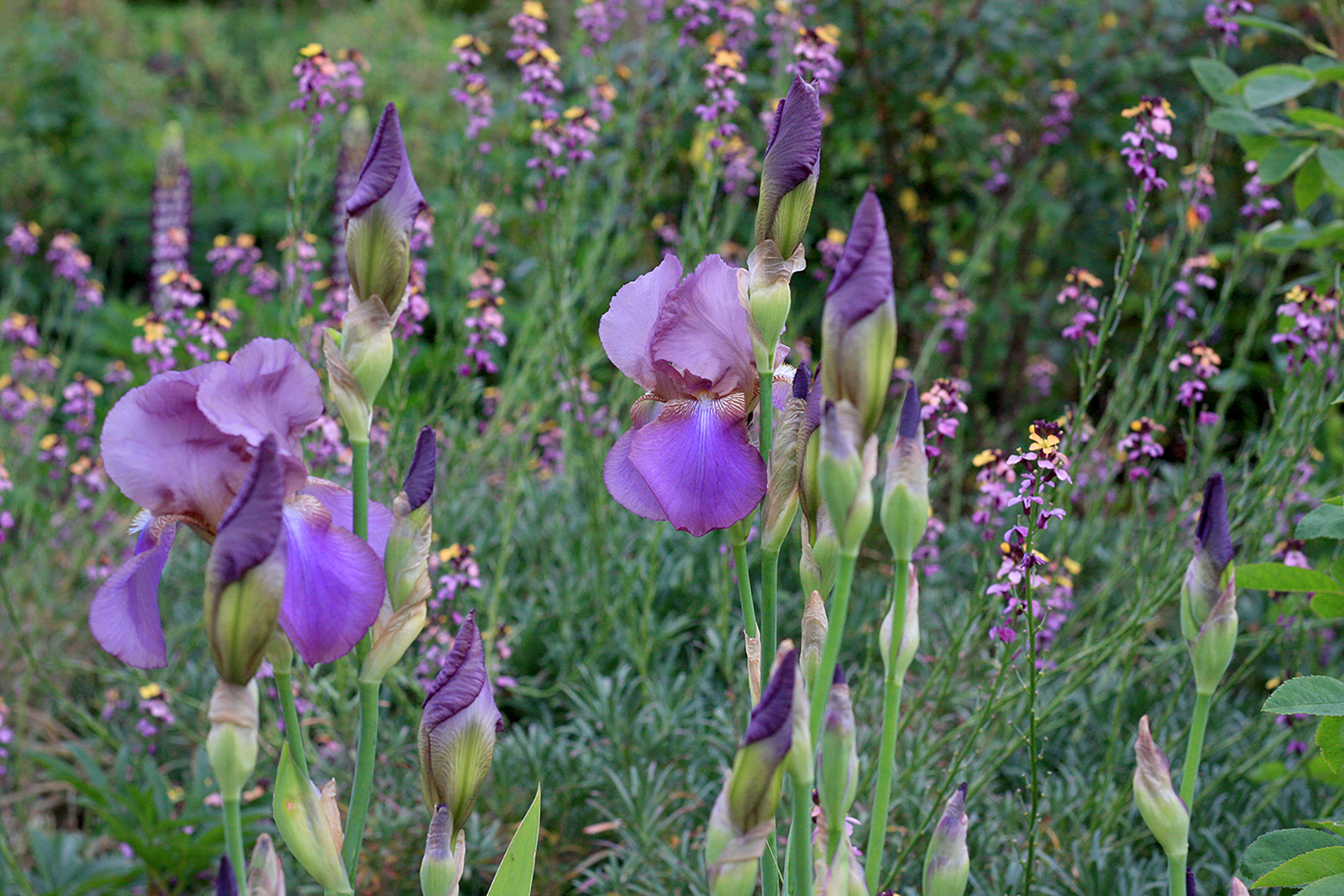 Iris  'Beottie' with  Erysimum  'Chelsea Jacket'
