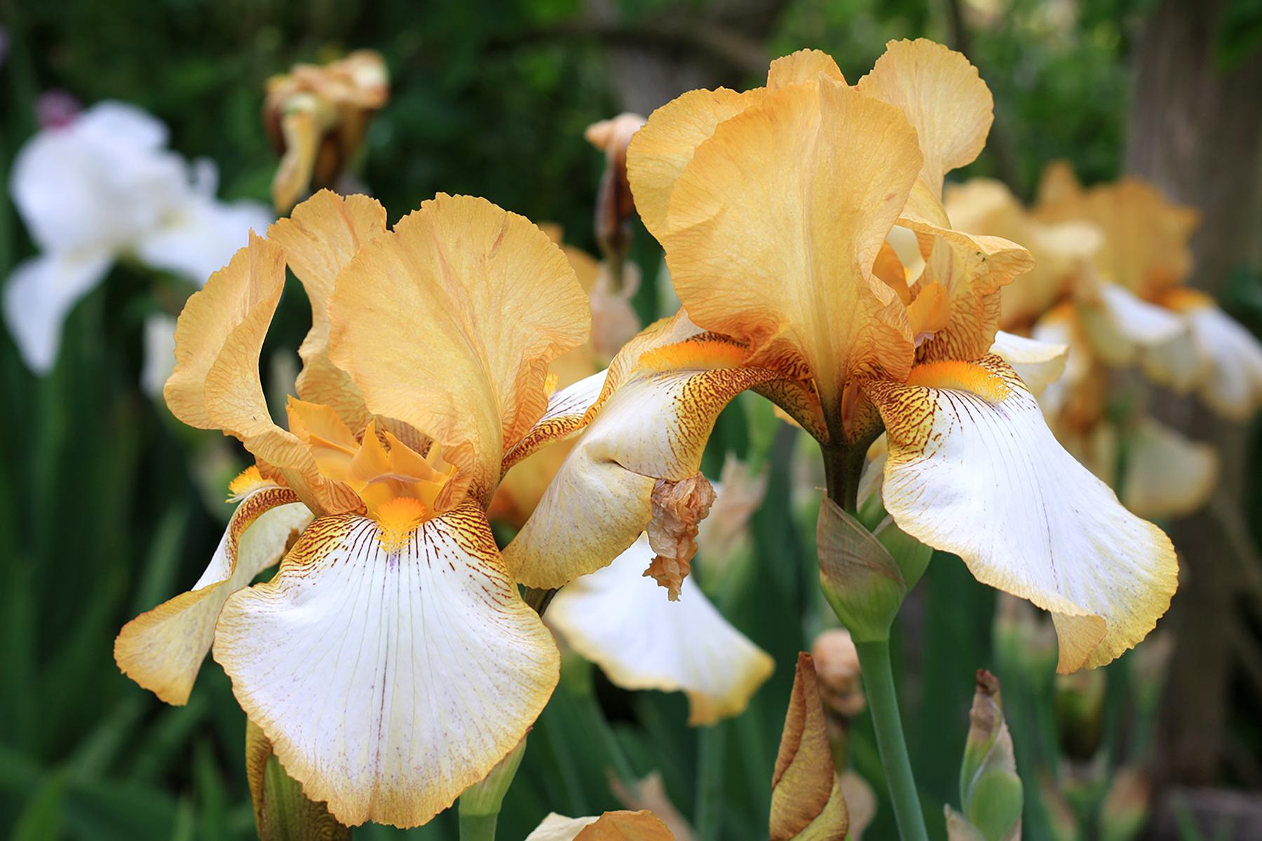 Iris  'Benton Susan'