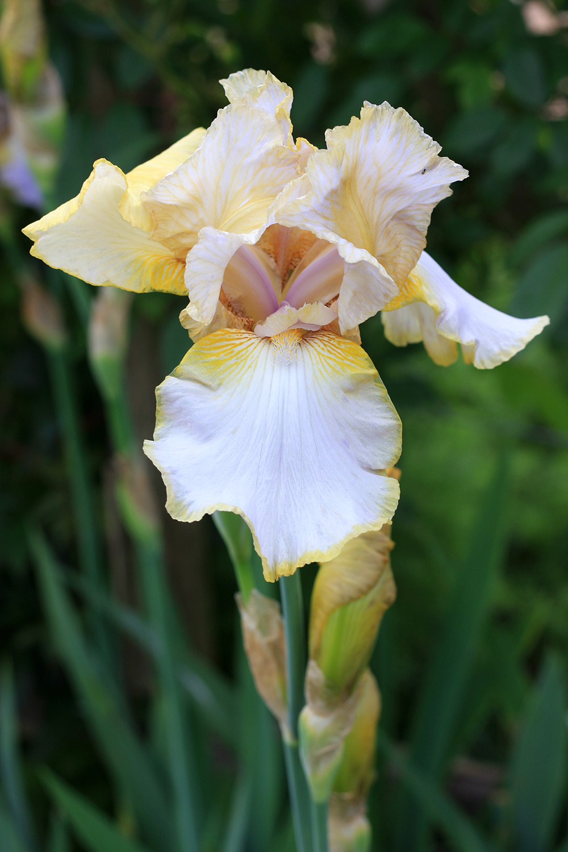 Iris  'Lula Marguerite'