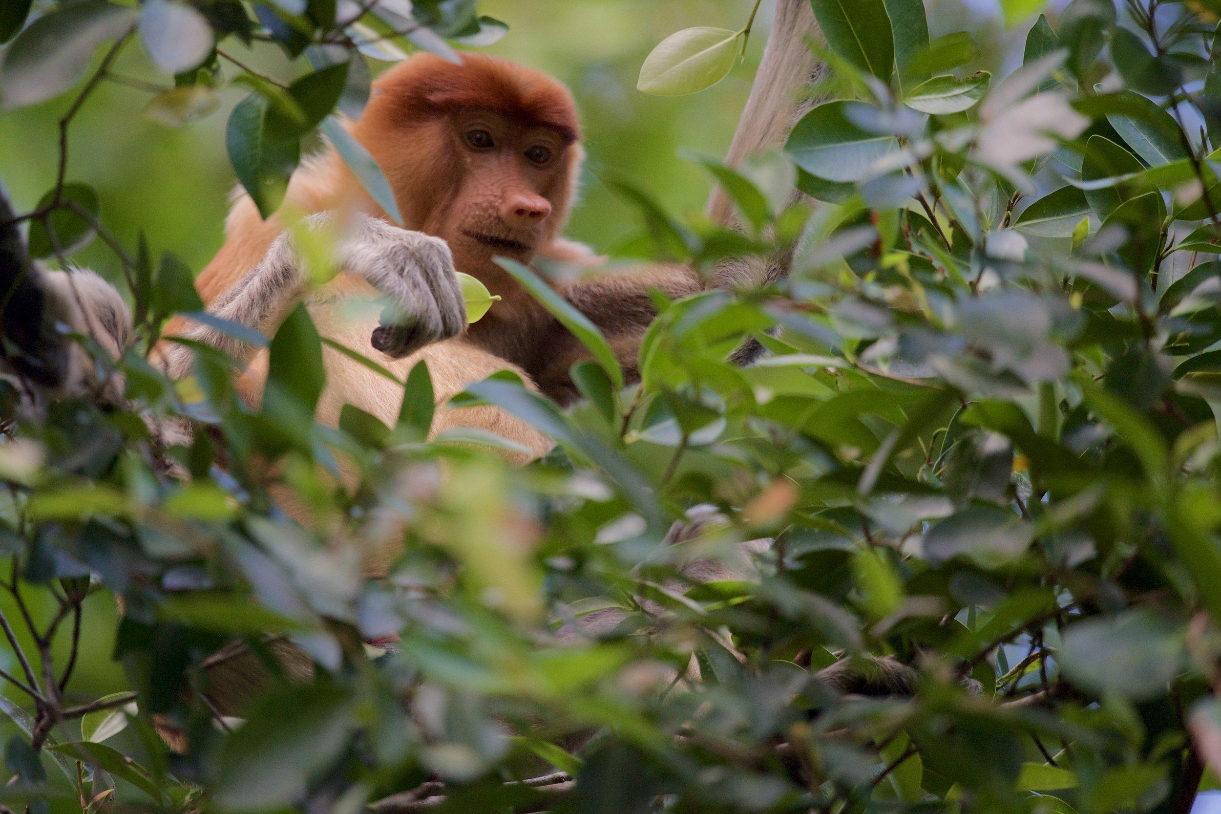 A proboscis monkey. Taken with the Nikon Df + 600mm f/4 VRII