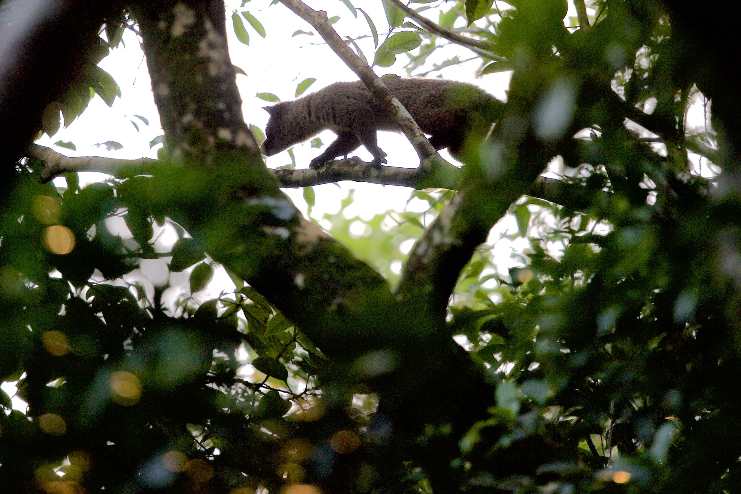 An extremely rare flat-headed cat in Bako National Park, in Sarawak, Borneo island, Malaysia