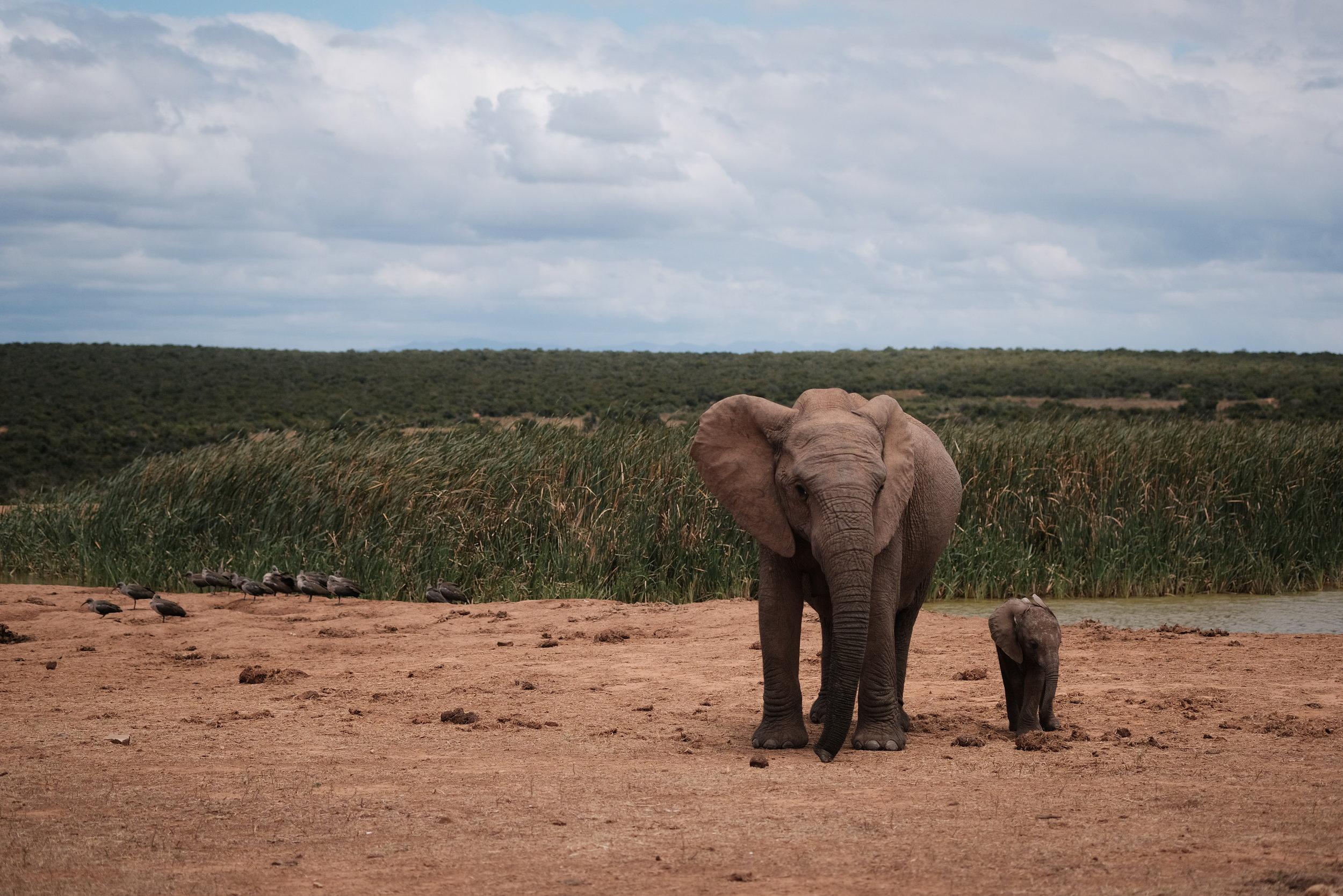 Elephant in Addo, Fuji X-Pro2 + 60mm f/2.4