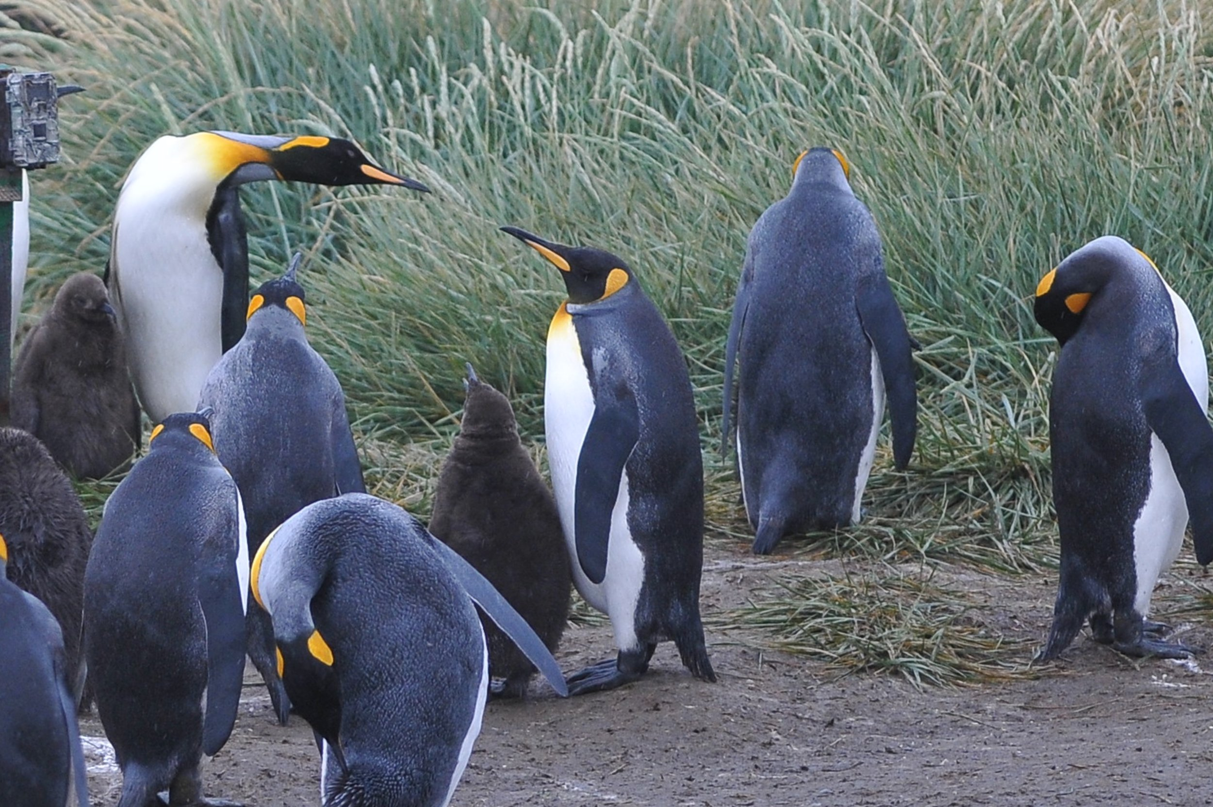 King Penguins in Chile's side of Tierra del Fuego.