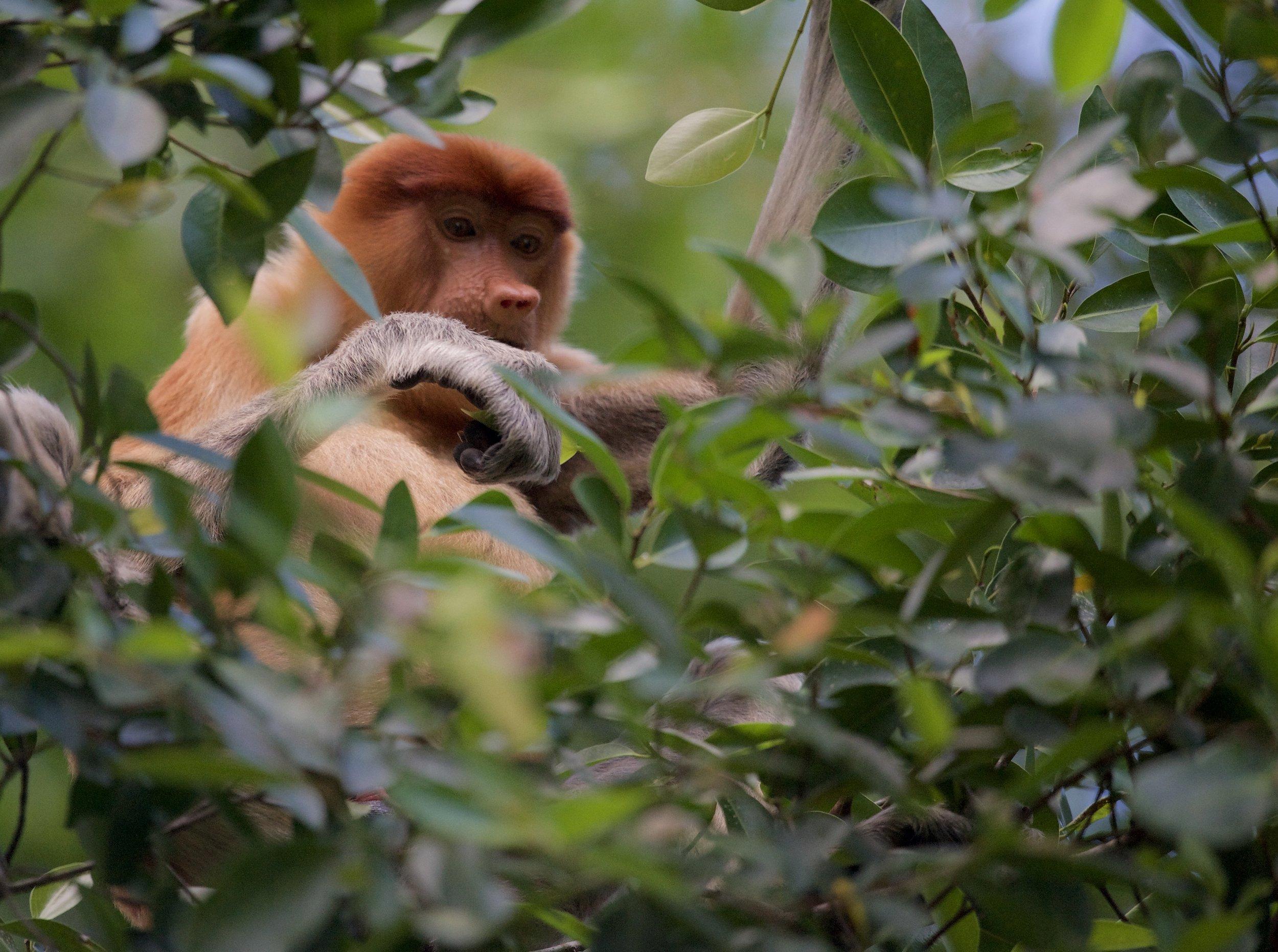Proboscis monkey on Borneo island, Malaysia.