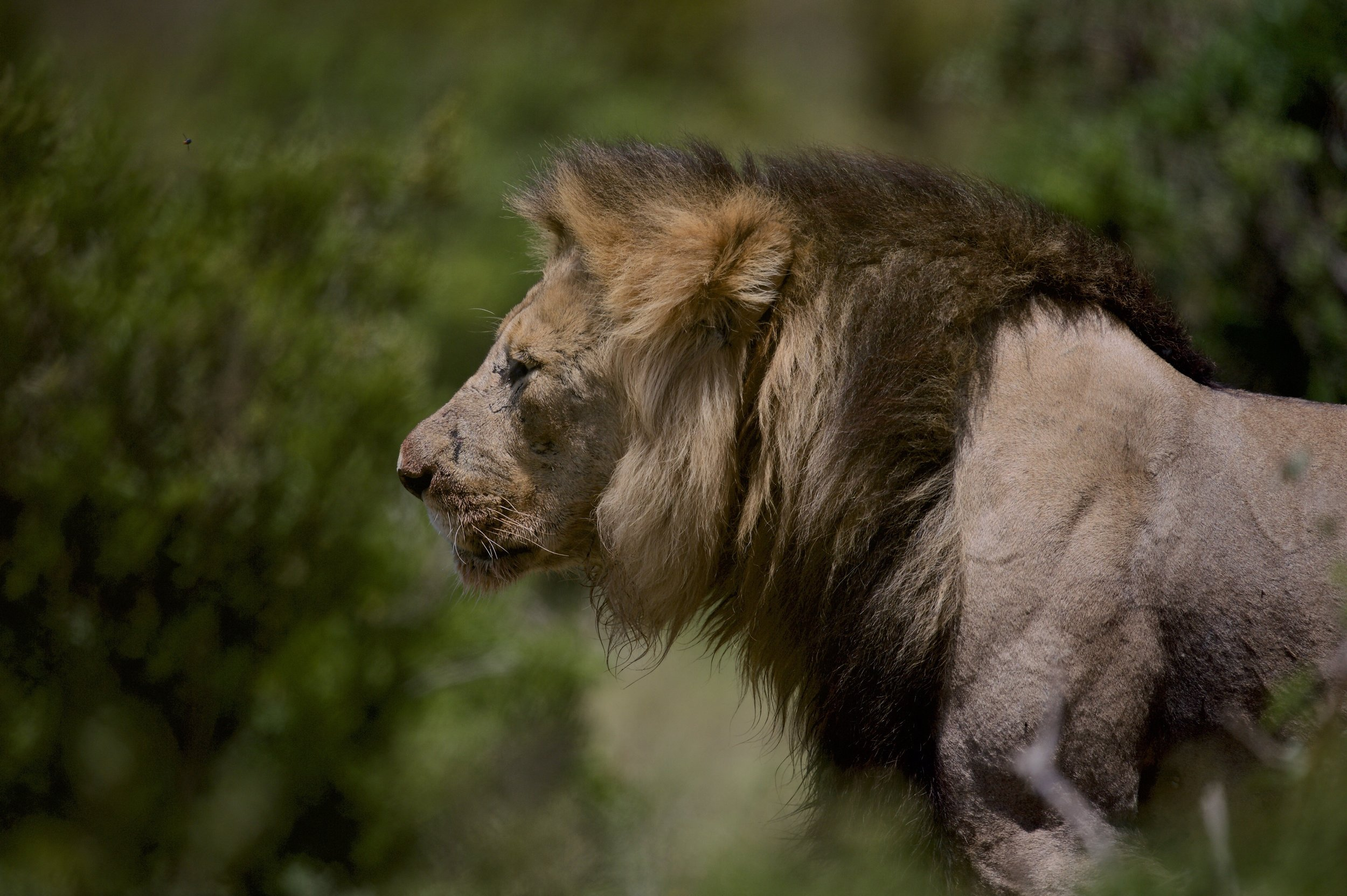 Lion in South Africa. Nikon Df + 600mm at f/4 and ISO 100