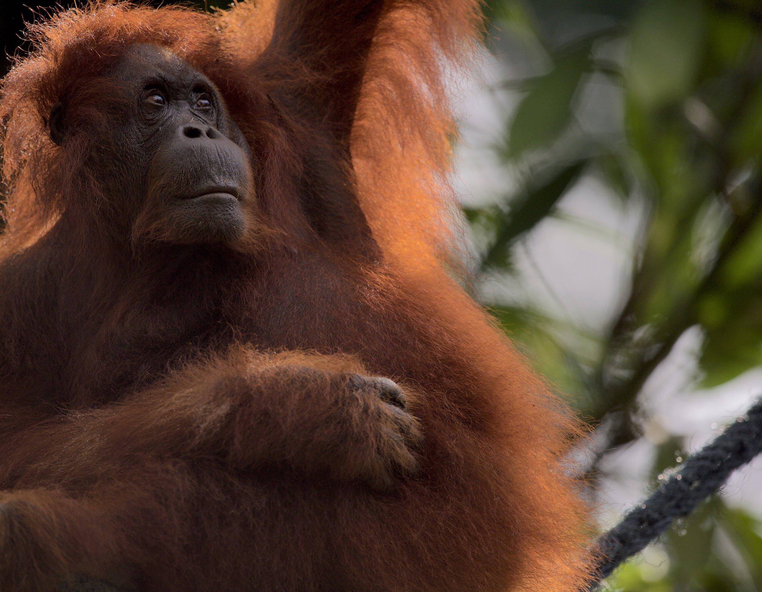 An orangutan on Borneo.