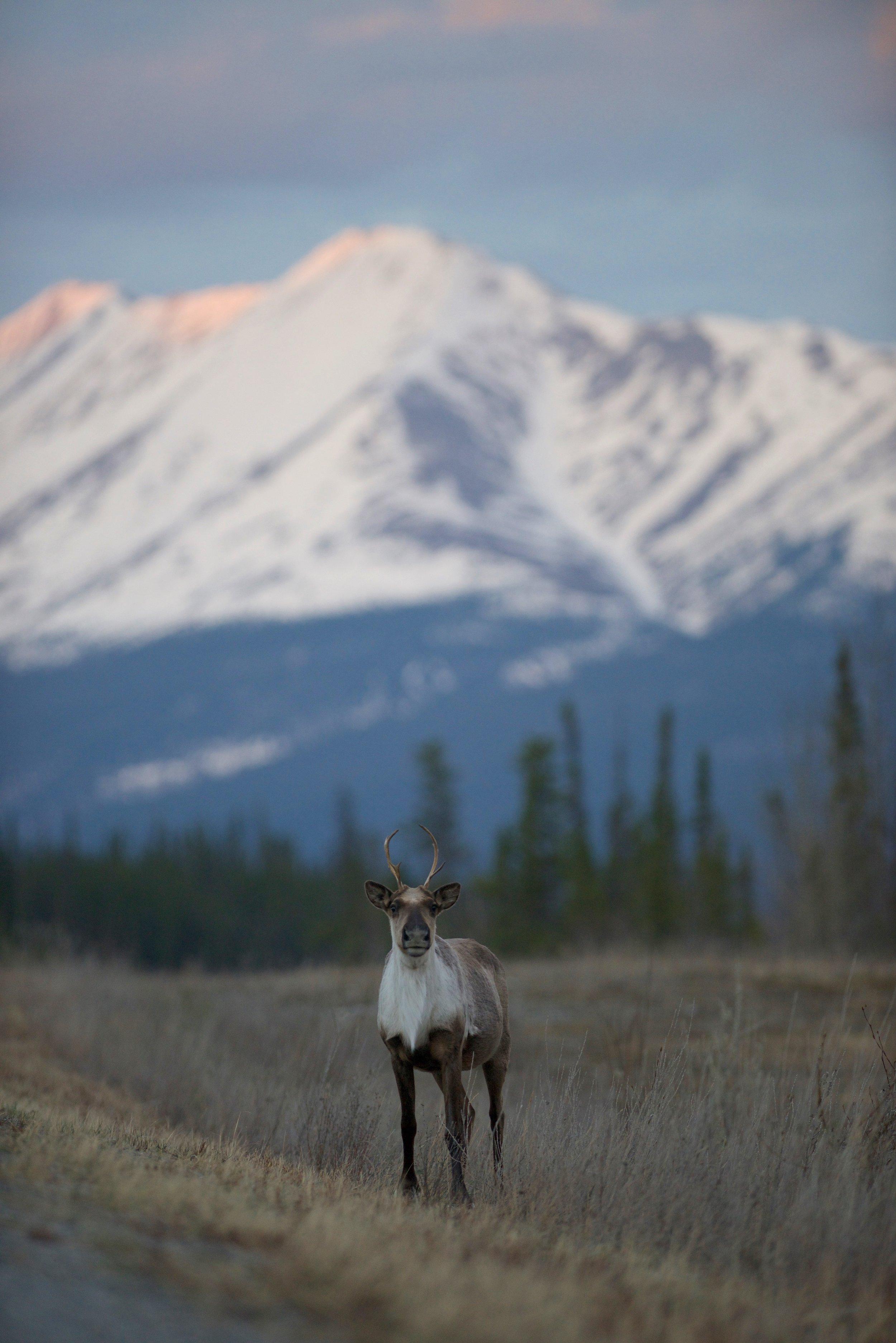 A caribou near Toad River, British Columbia