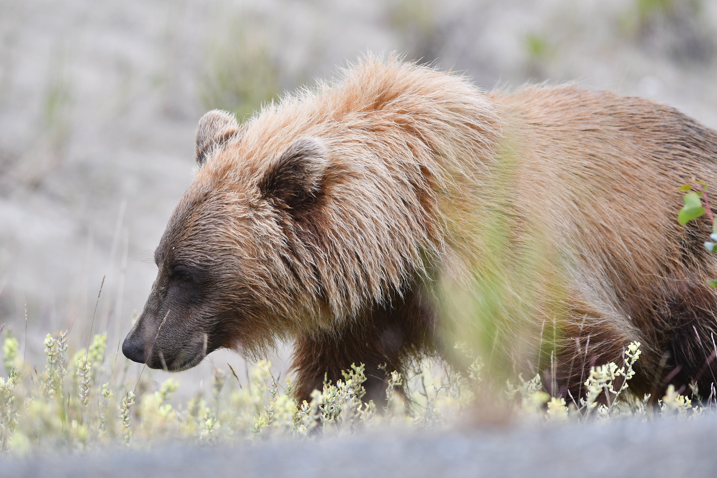Grizzly in Northern British Columbia. Taken with a 300mm f/2.8 VR on a Nikon D800E