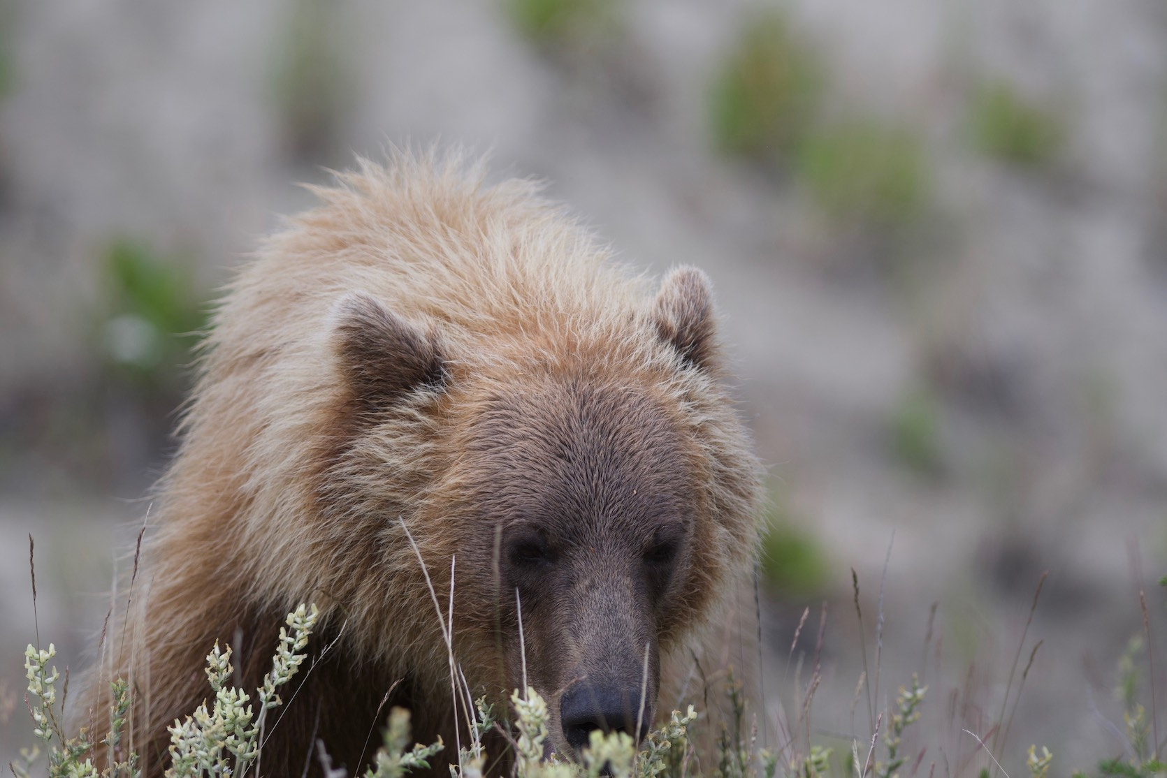 On the way out of Carcross, Yukon Territory. This grizzly shows up near the road.