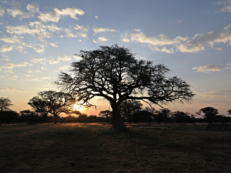 Camelthorn trees on Toscani farm, Namibia