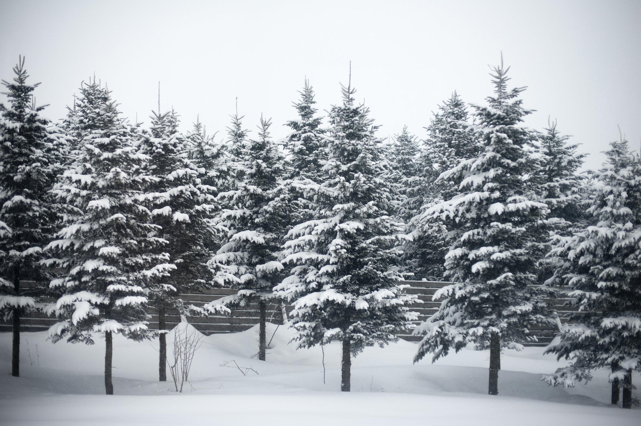 Snow_on_fir_trees.jpg