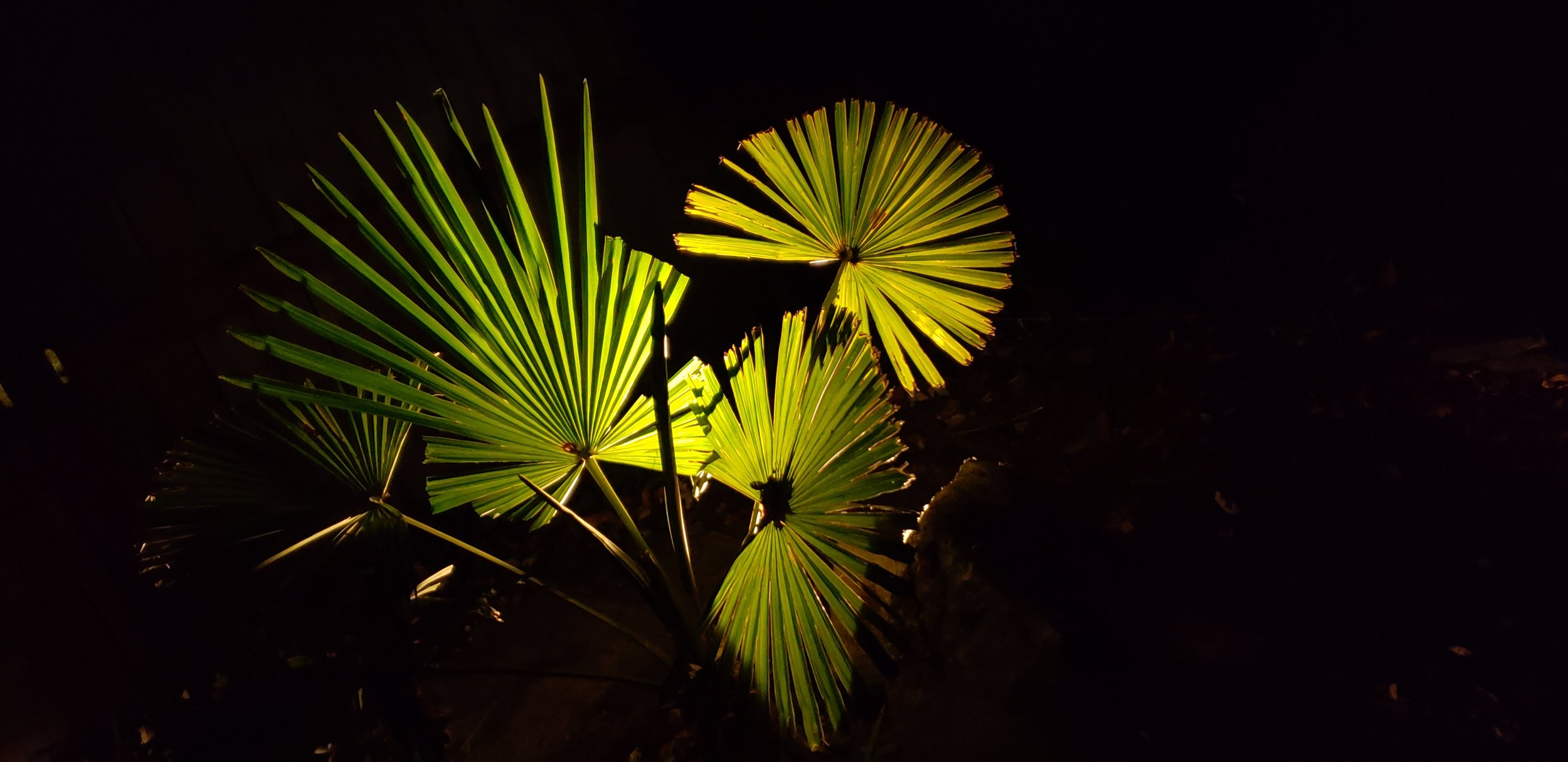Up Lit Palm