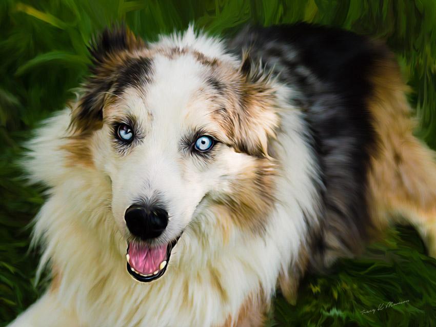A digital painting of a blue merle Australian Shepherd dog.