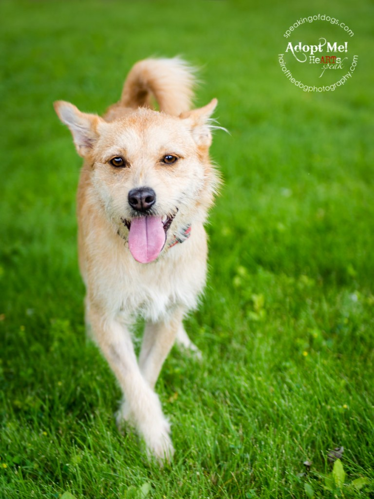 Jacqueline is an adoptable dog, available in the Greater Toronto Area, through Speaking of Dogs Rescue. She is a bouncy, fun loving terrier mix. She is awaiting surgery due to some degenerative issues in her hip, but no one told her that and it is not slowing her down!