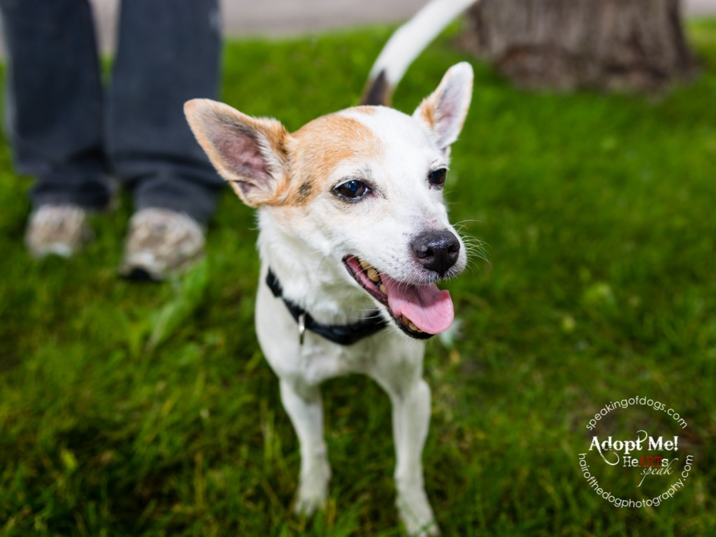 Jacqueline is an adoptable dog, available in the Greater Toronto Area, through Speaking of Dogs Rescue. This sweet Jack Russell Terrier (mix? she is tiny!) is 10 years old, but she looks like a puppy!