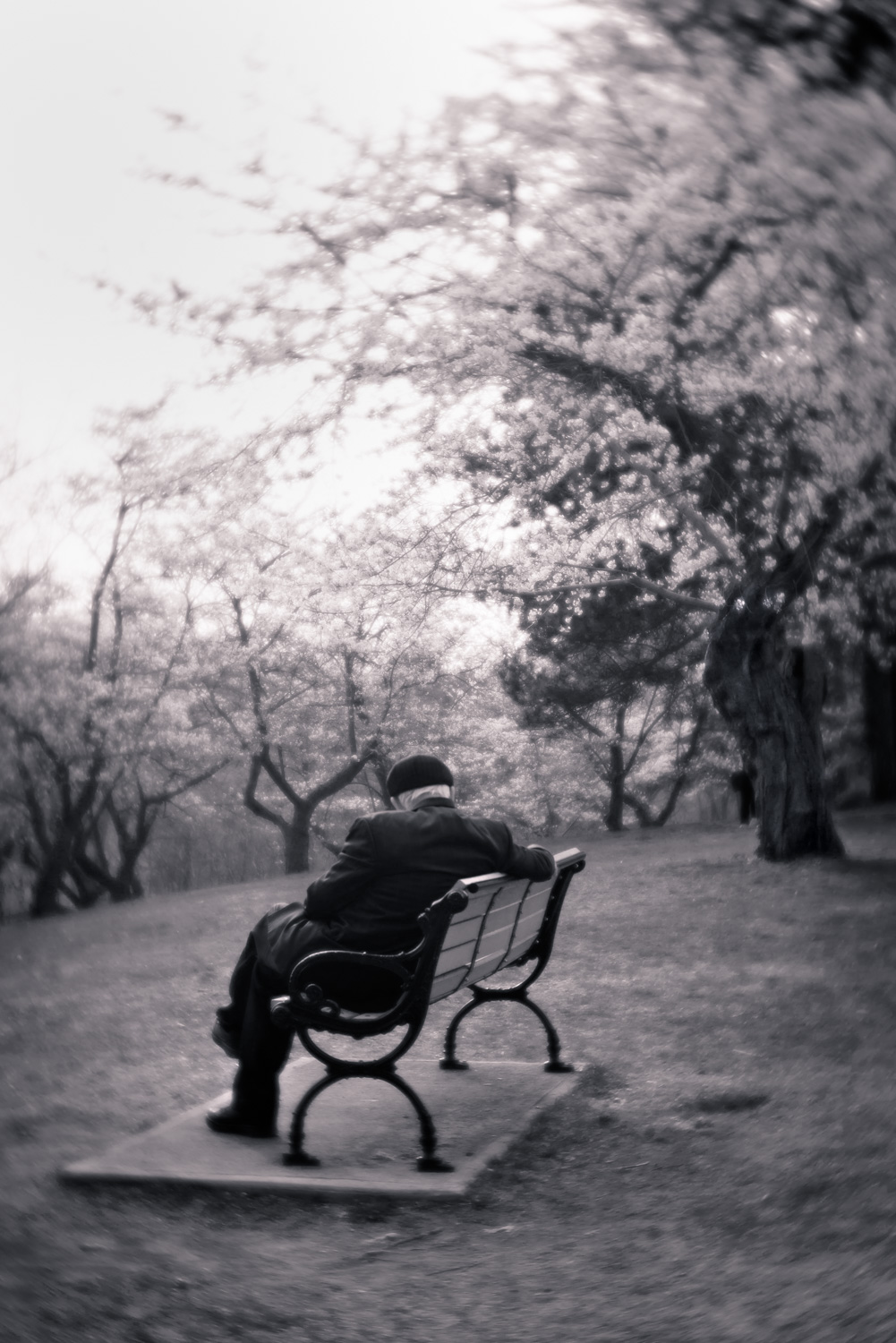 An elderly gentleman sits on a park bench and enjoys the cherry blossoms in High Park, Toronto.