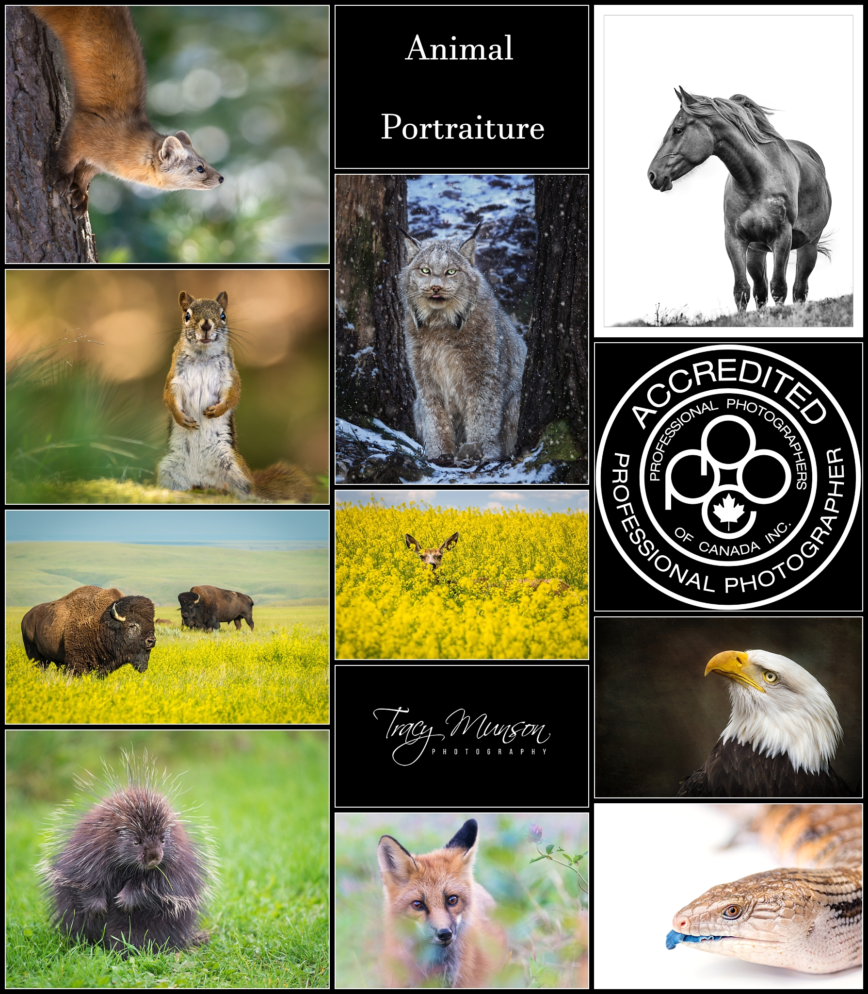 A collage of the 10 animal portraits that were accepted towards my professional accreditation through the Professional Photographers of Canada.