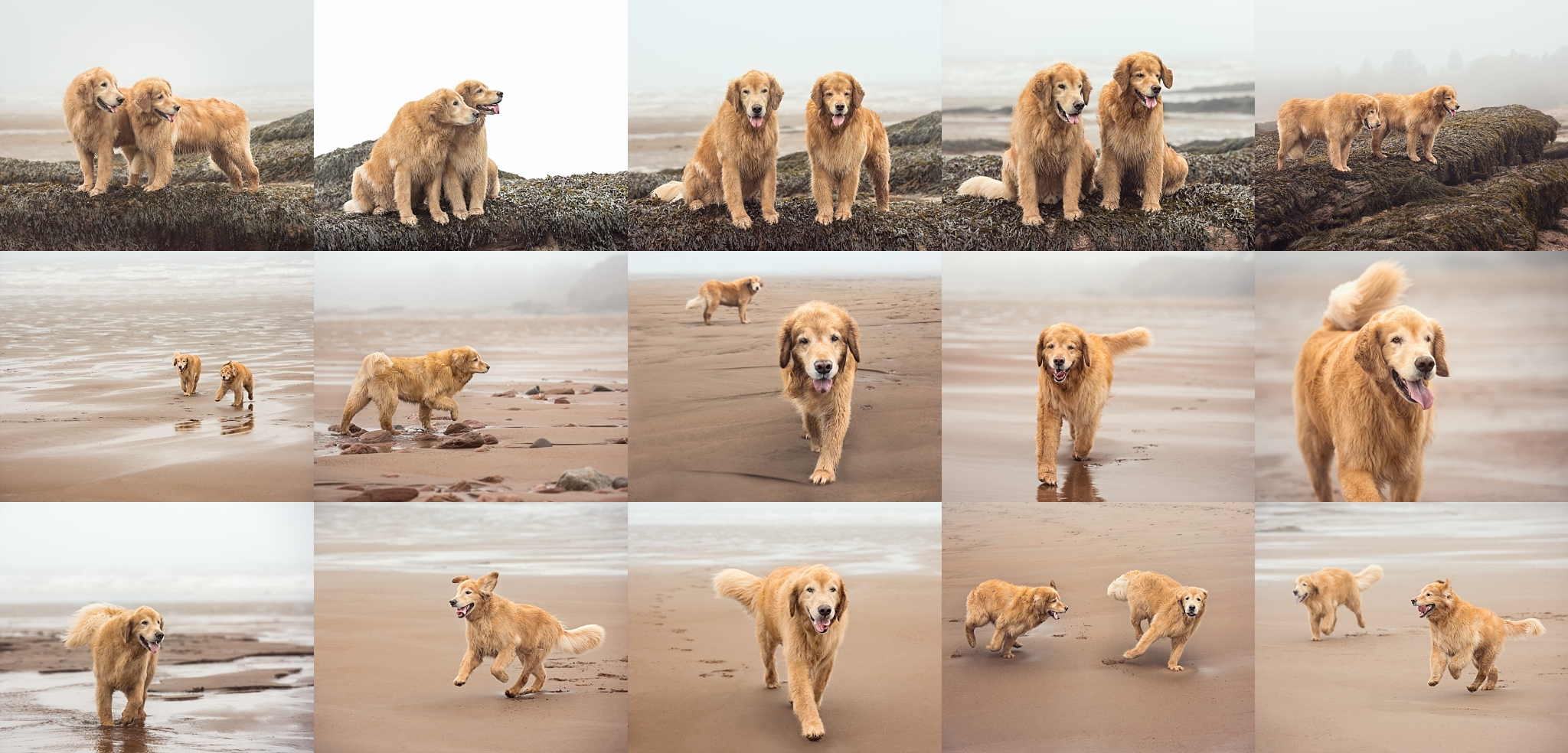 A foggy, drizzly day at the beach can still be lots of fun when there are Golden Retrievers around!