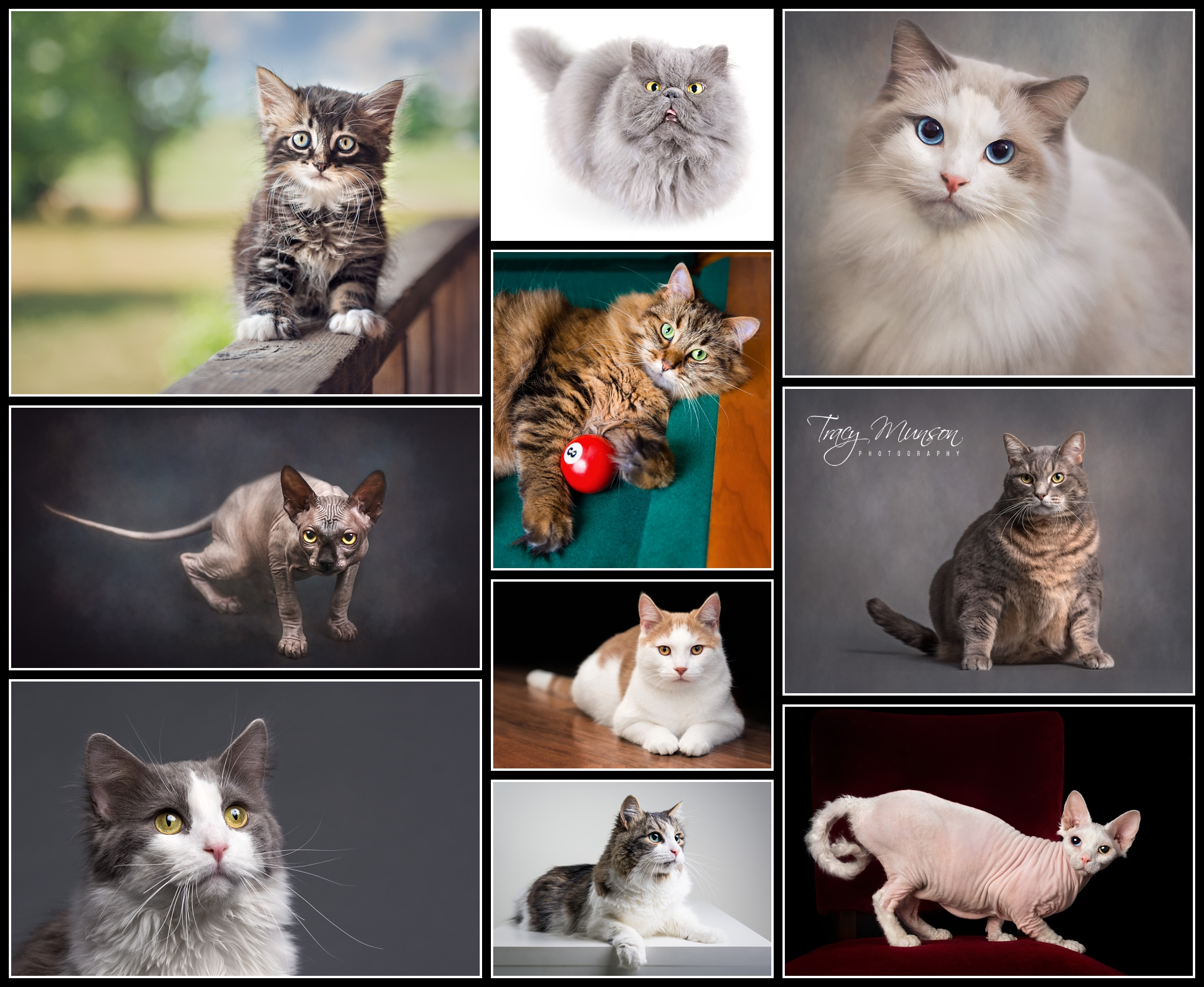 My successful Feline Portraiture Accreditation Submission.