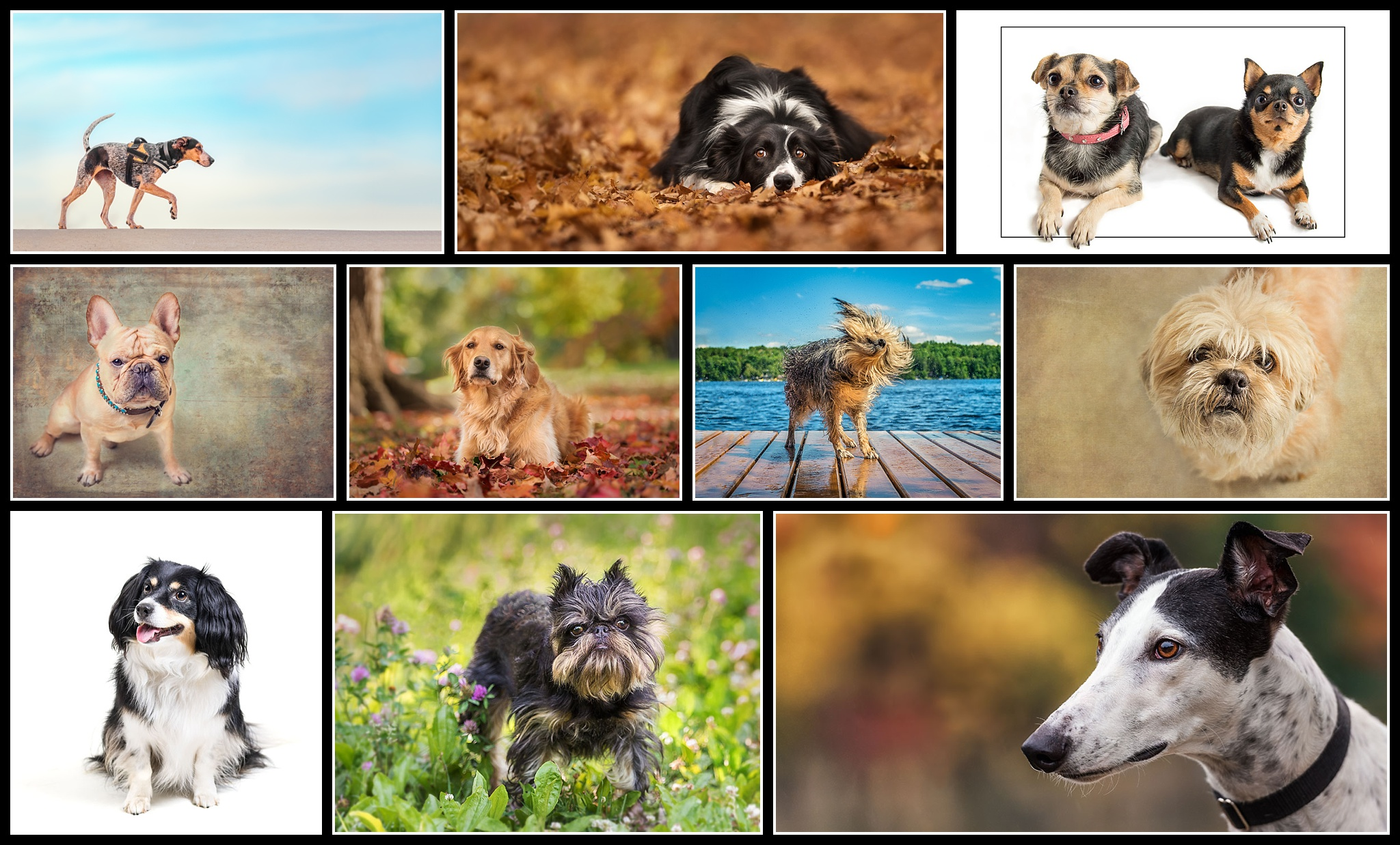 Canine Portraiture 2017 - The 10 Accepted images in my Canine Portraiture Accreditation.