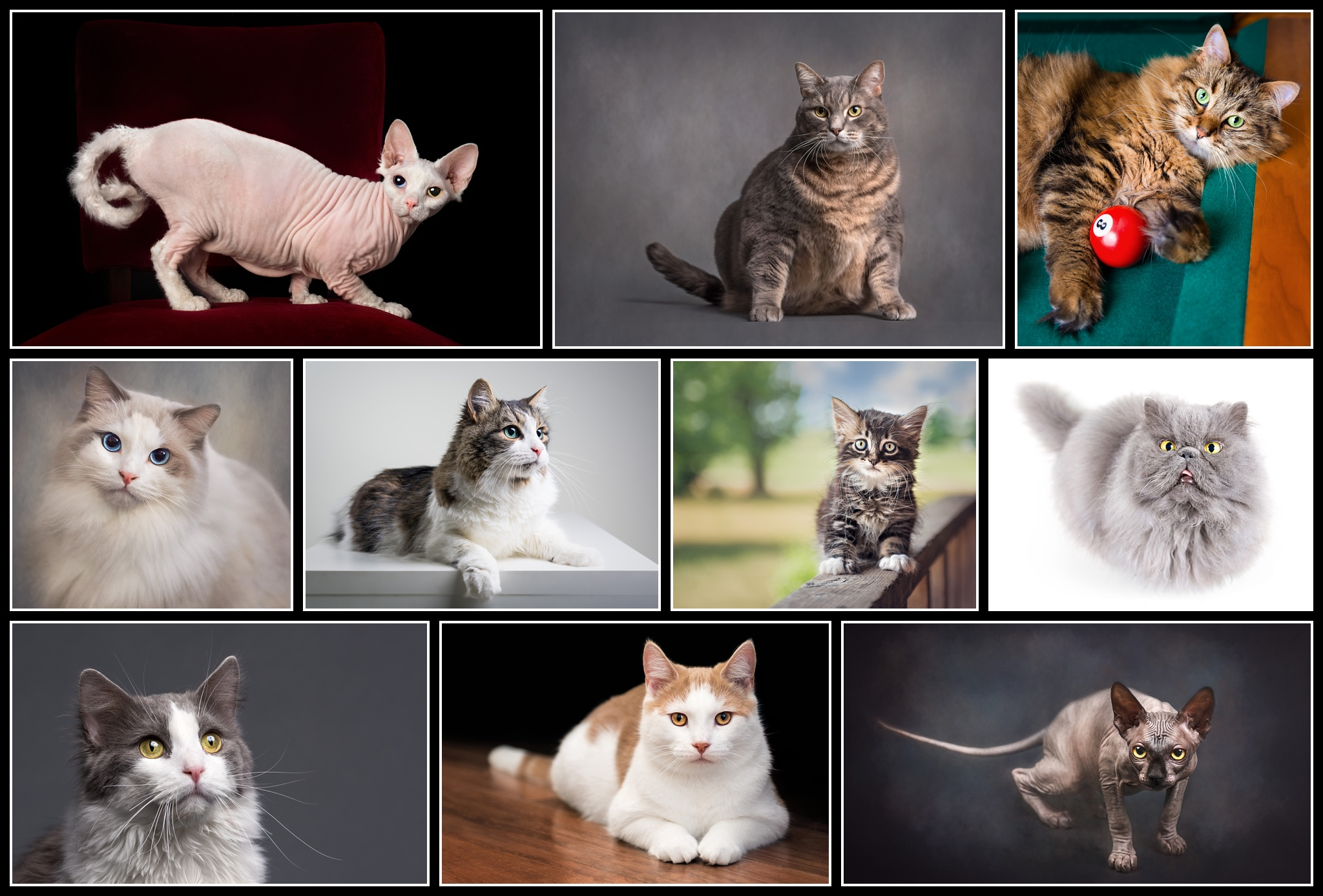 Feline Portraiture 2019 - The 10 accepted images in my Feline Portraiture Accreditation.