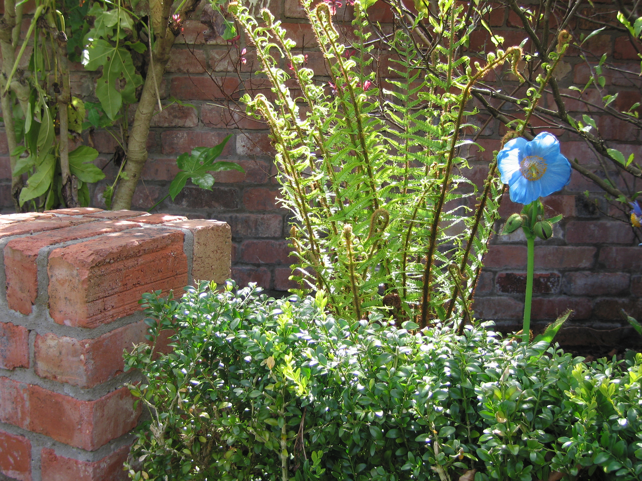meconopsis and fern garden design belfast irishgardenplantsociety