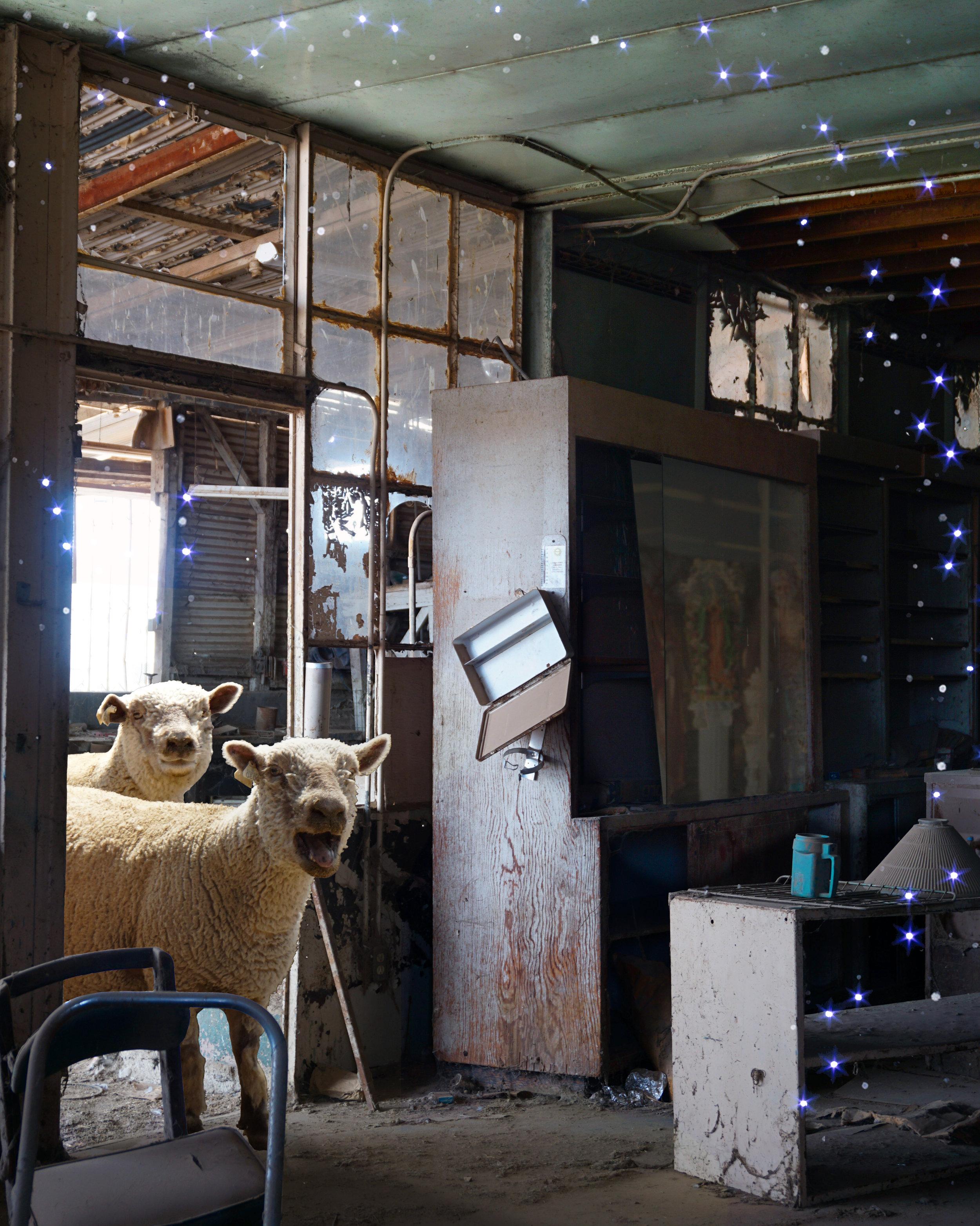 Surprise Sheep