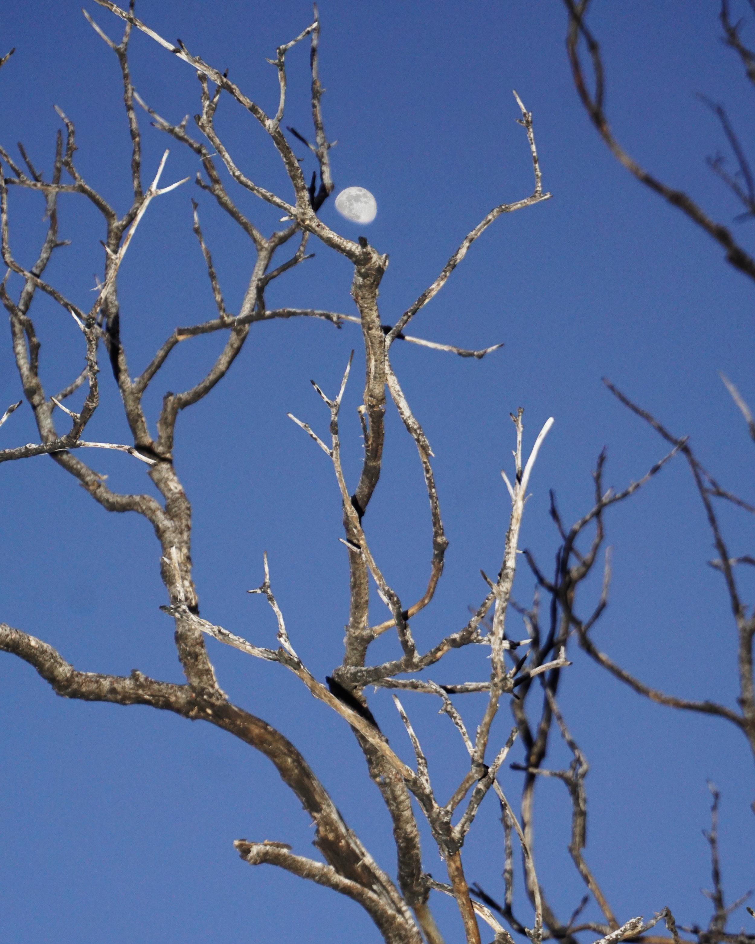 luna y  branches.jpg