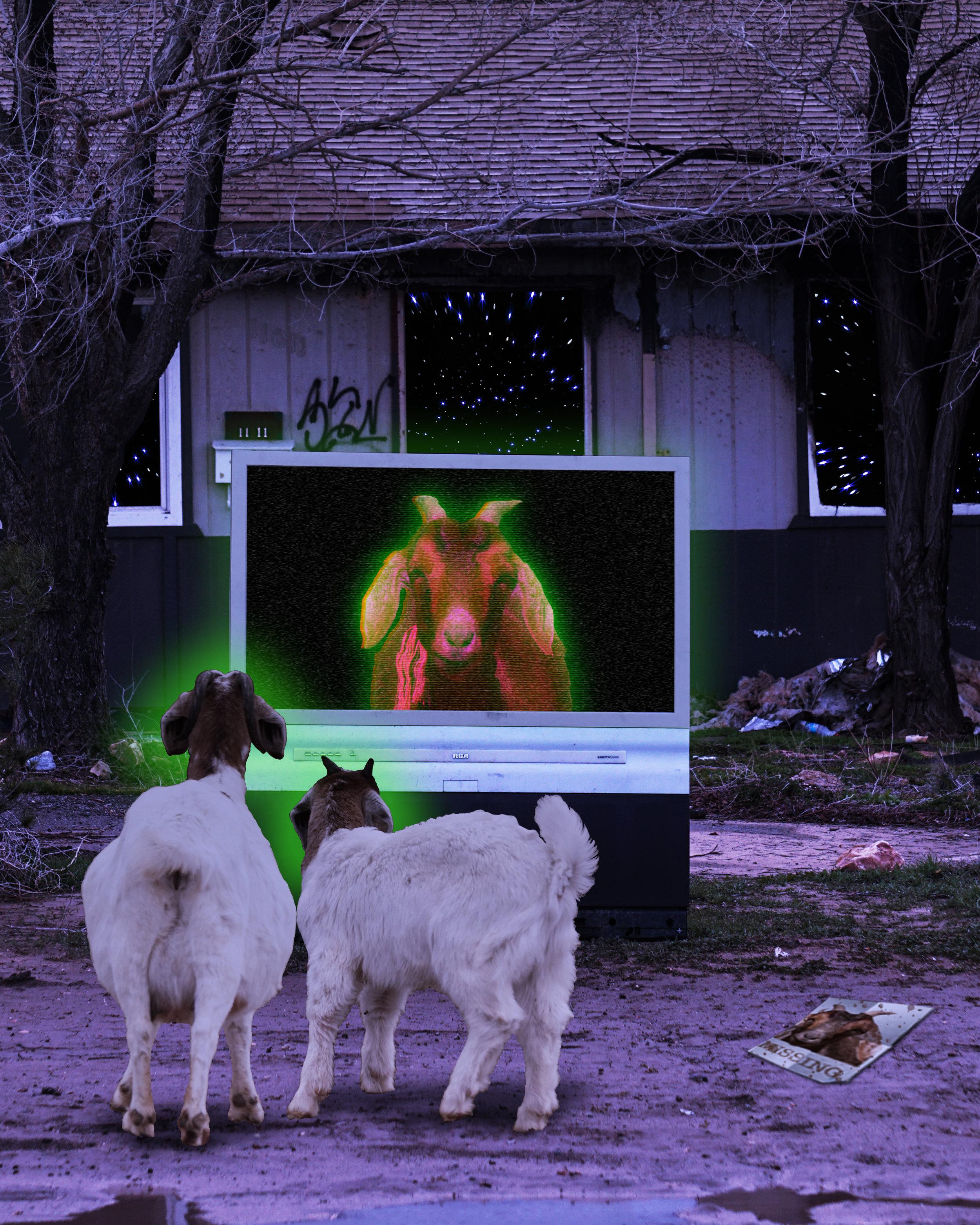 Missing Goat on TV Transmission
