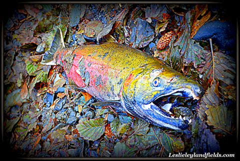 Salmon-Colorful+dead.JPG