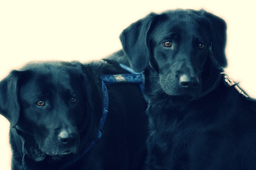 two black labs.jpg