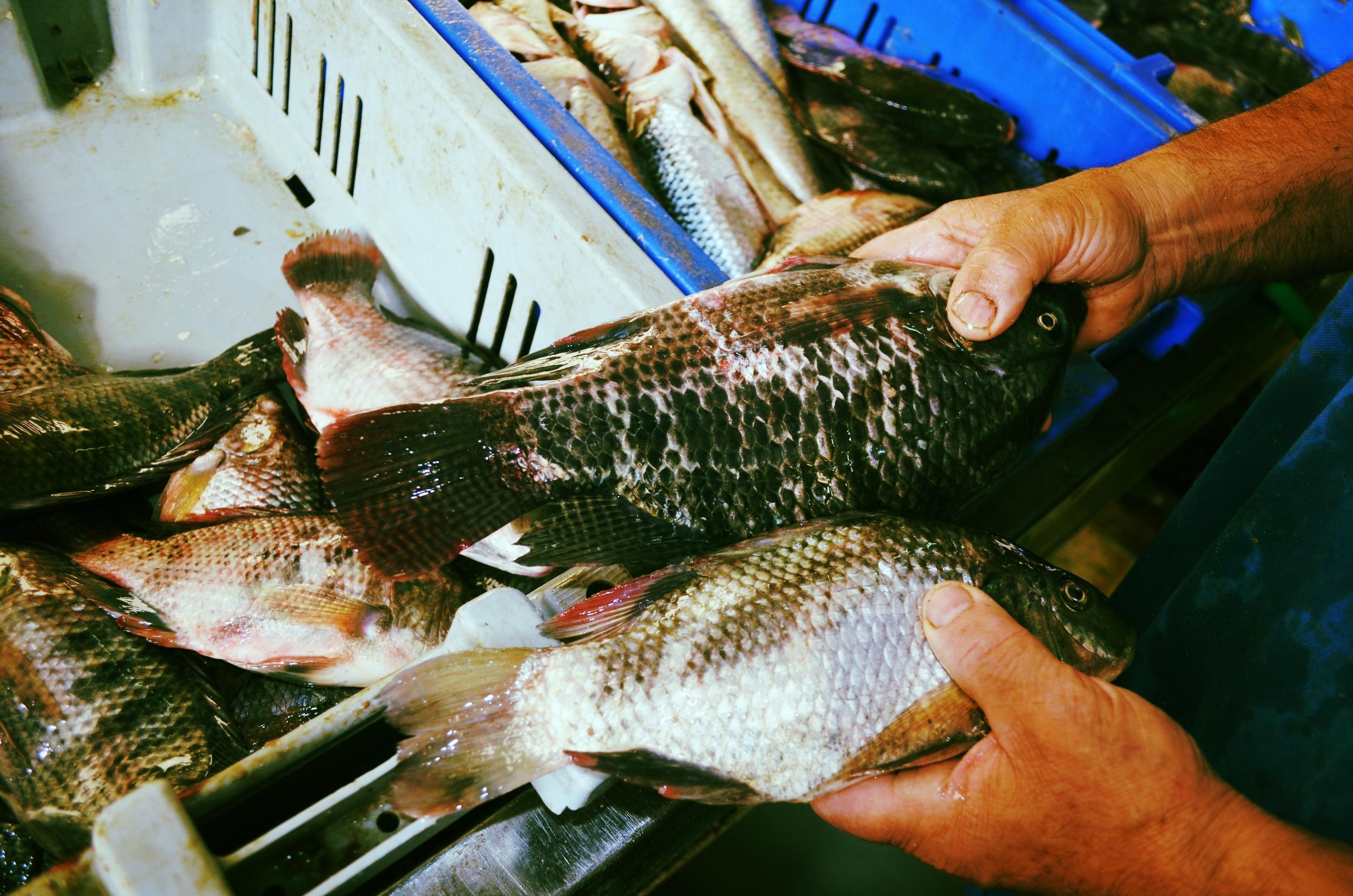 Musht--holding 2 fish.JPG