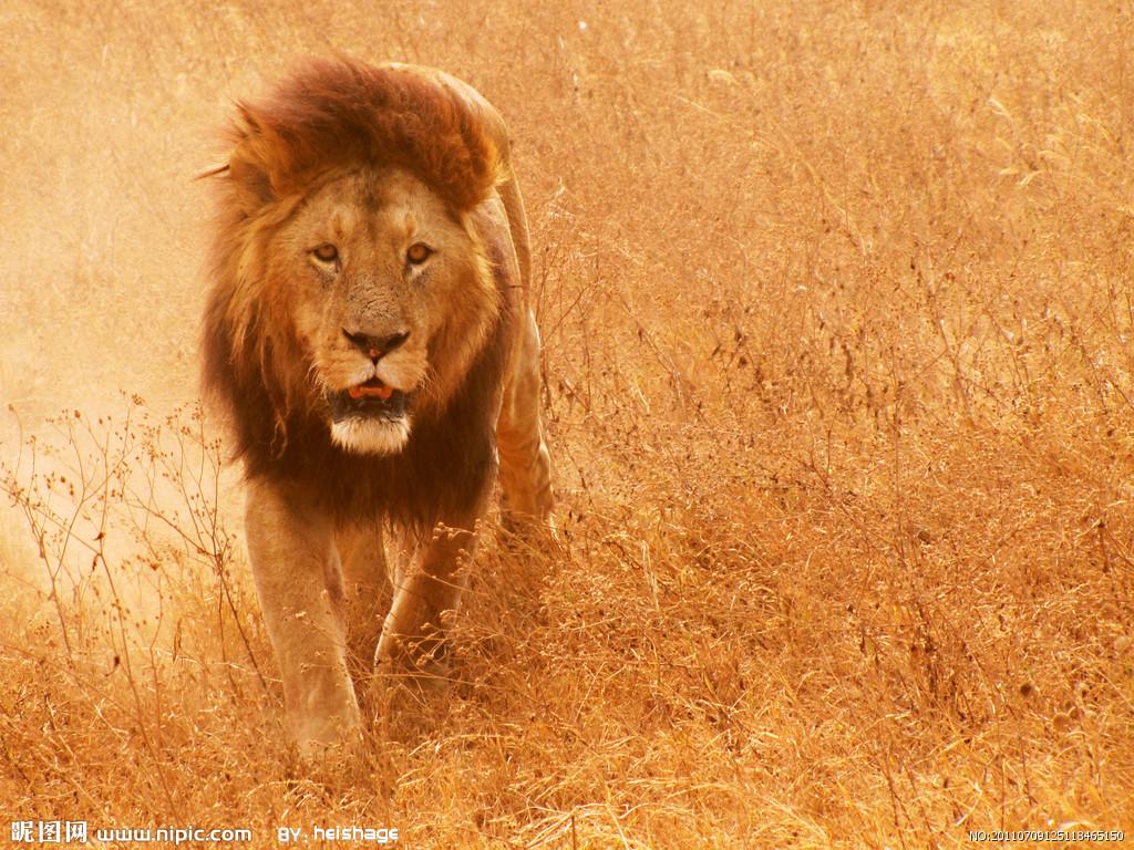 AA lion.jpg