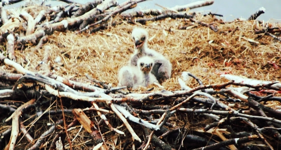 eaglets--cute.jpeg