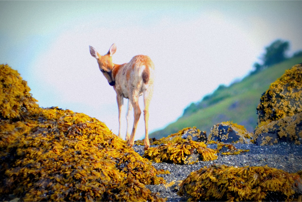 Fawn on kelpy rock.png