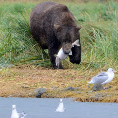 bear eating salmon.jpeg