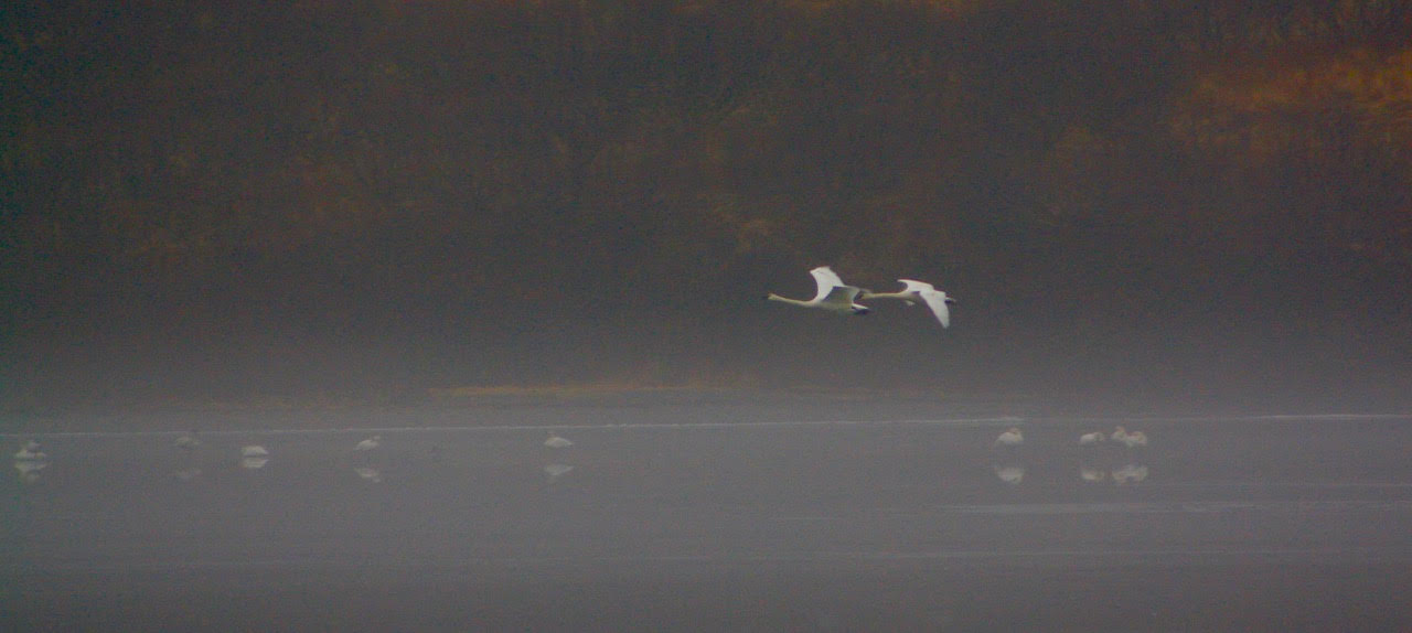 swans flying into fog.jpg