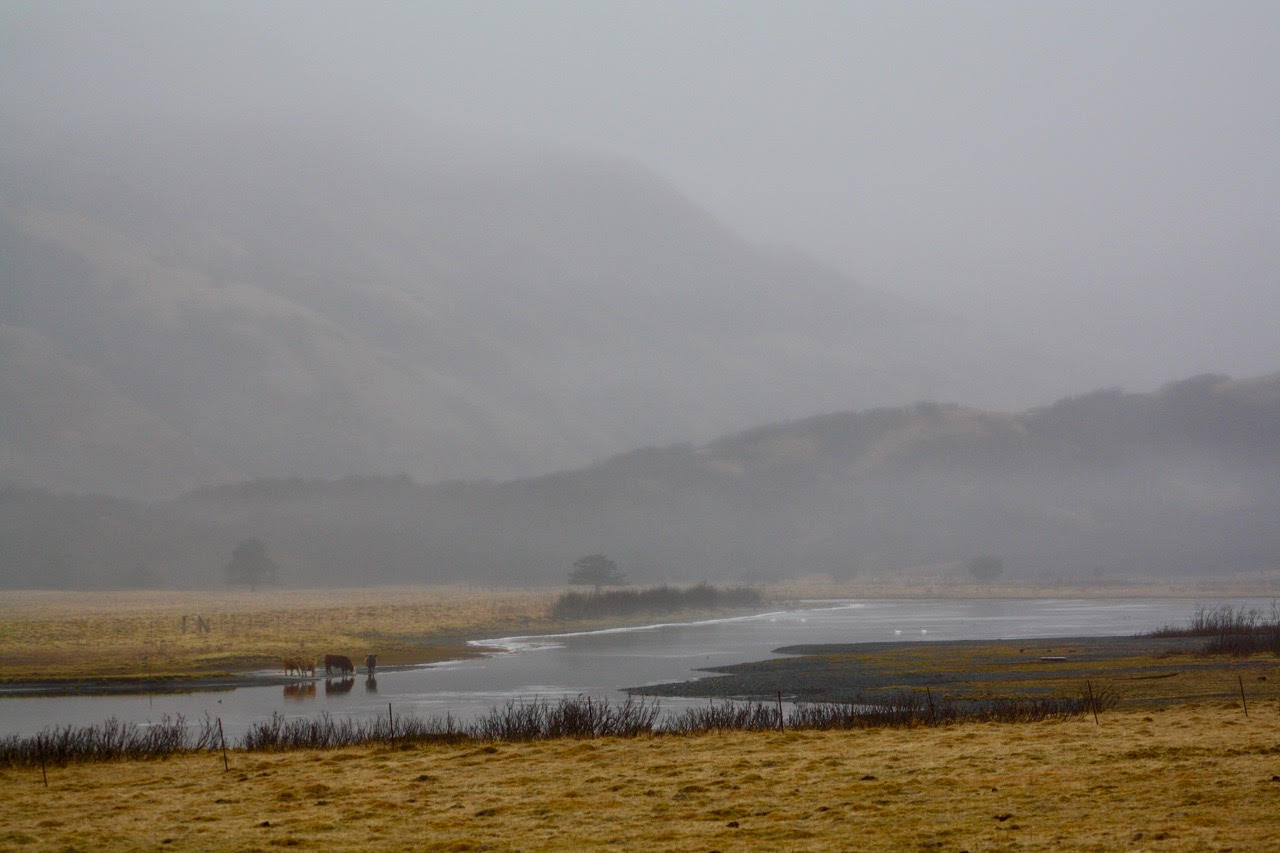 cattle at waters edge--mountains and fog.jpg
