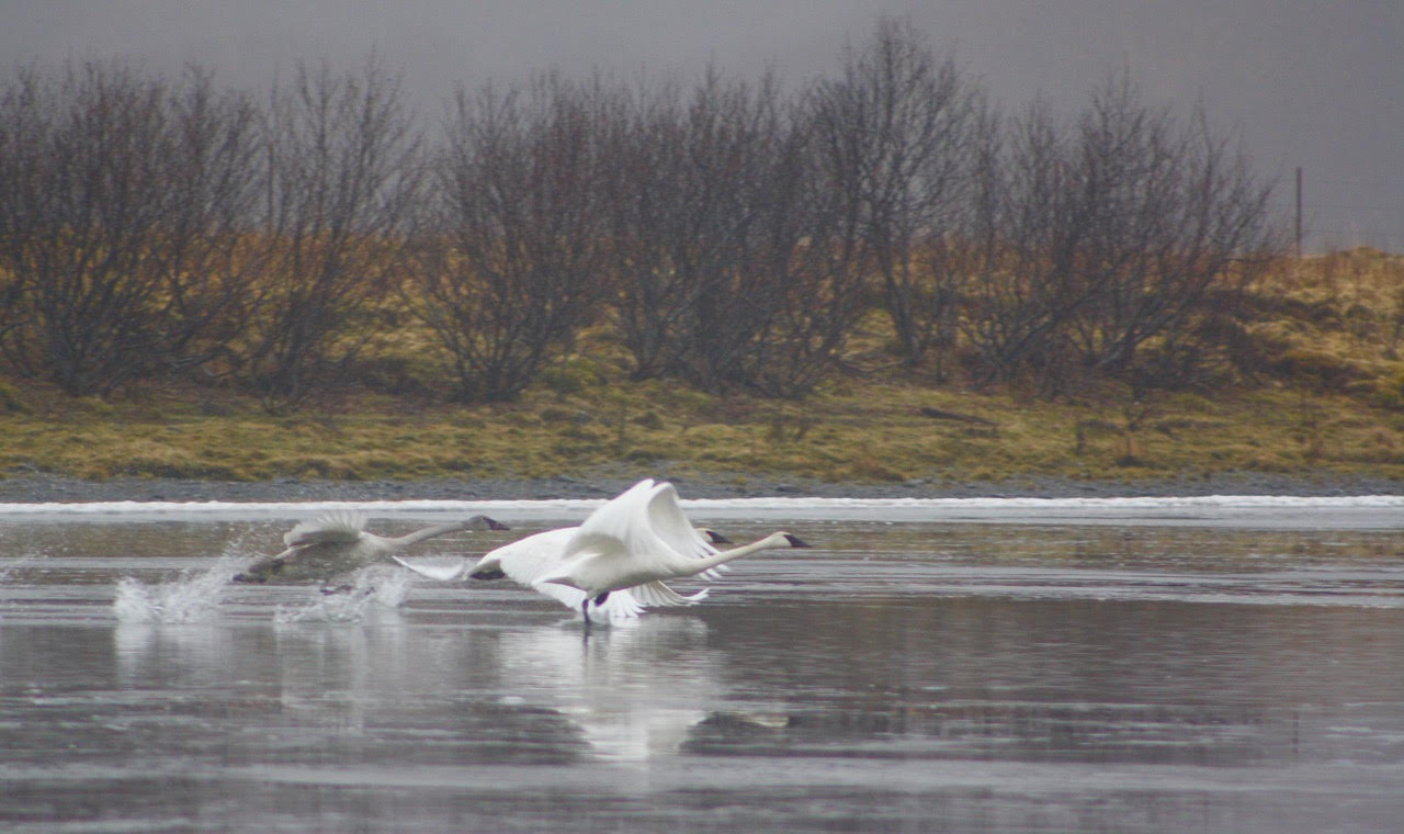 swans just taking off.jpg