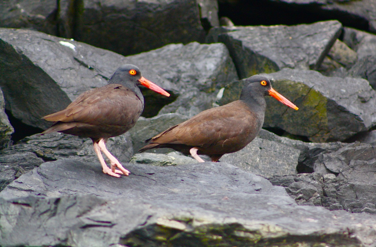 Otter blog--Oystercatchers.jpg
