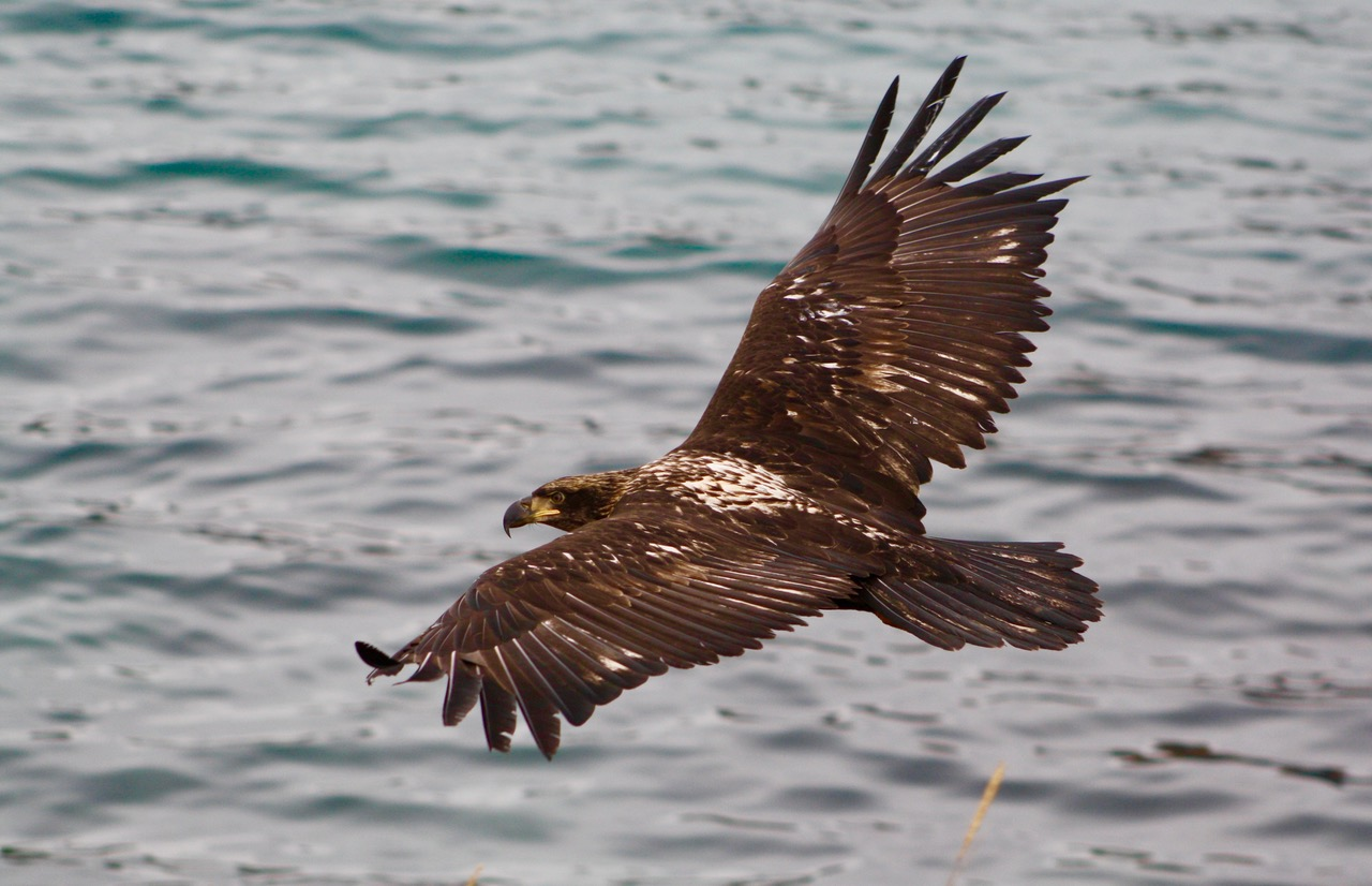 immature bald eagle over water.jpg