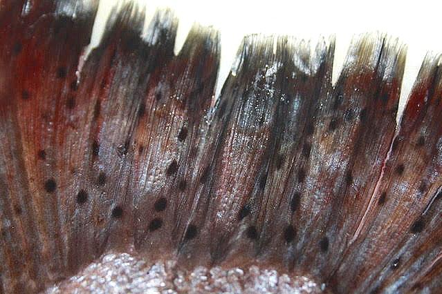 king+salmon+tail--closeup.jpg