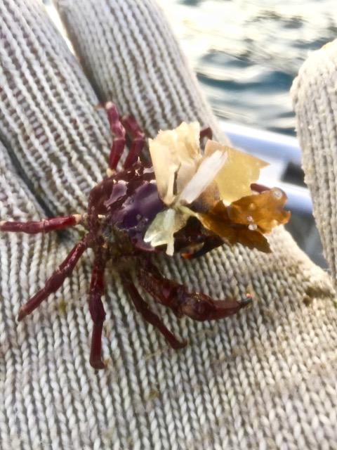 kelp crab in hand.jpeg